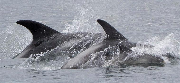 Tiny dolphin calf