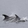010818 young calf whitebeak dolphin