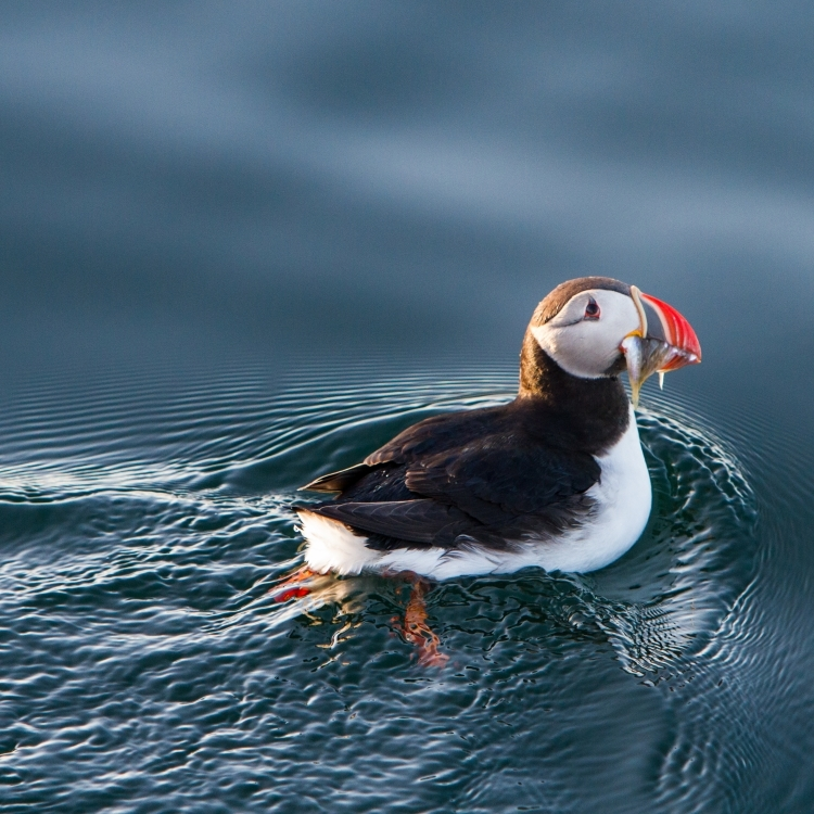 020815 awesome puffin