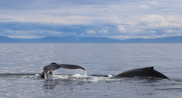 020818 2 humpbacks pano