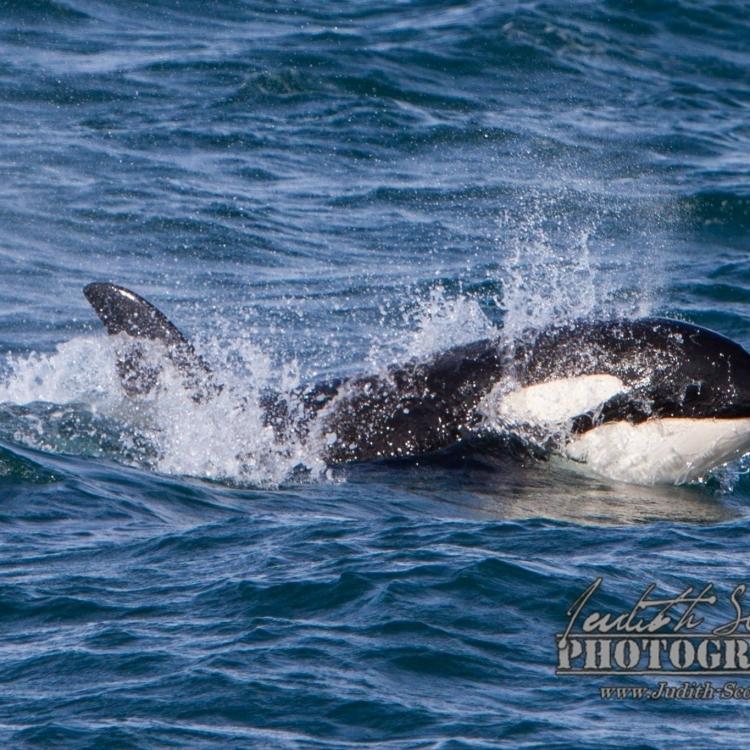 030815 orca head WM