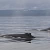 030818 2 humpbacks