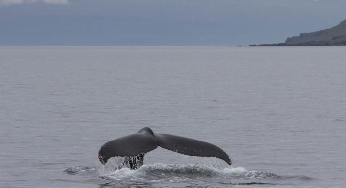 030818 humpback tail