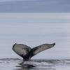 030818 humpback whale ID