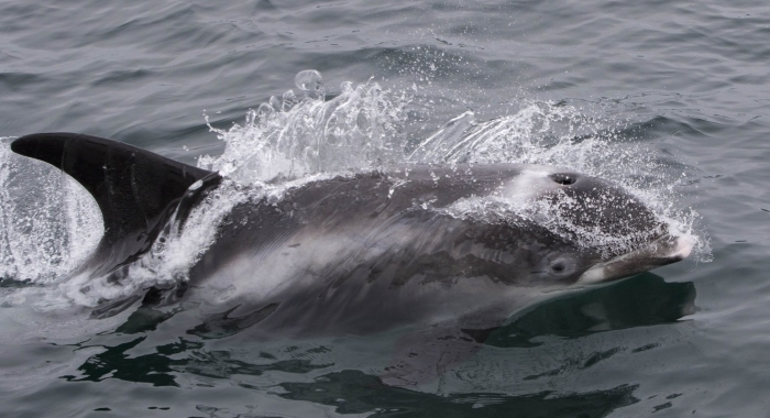 030818 white beaked dolphin 2