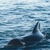 030918 pilot whale