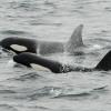 0408 2 orcas
