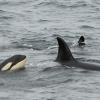 0408 orca calf