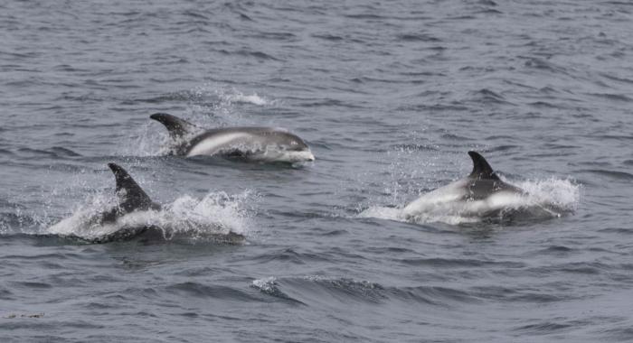 040818 whitebeaked dolphins