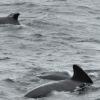 0409 pilot whales Olafsvik