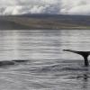 040918 2 humpbacks