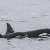 040918 2 orcas