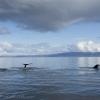 040918 3 humpbacks in light