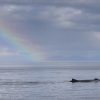 040918 humpback rainbow