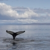 040918 humpback tail in landscape