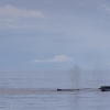 040918 humpbacks and iceberg