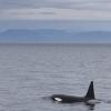 040918 male orca