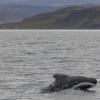 040918 porpoising pilot whale Holmavik