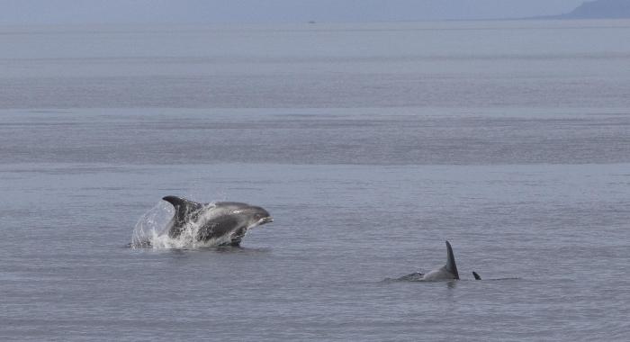 040918 whitebeak dolphin Holmavik