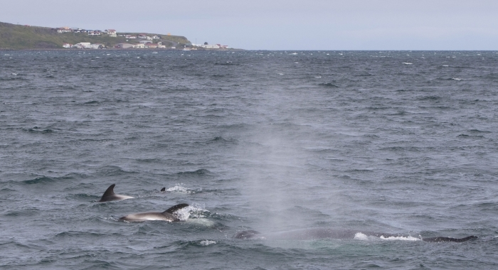 050818 humpback with dolphins