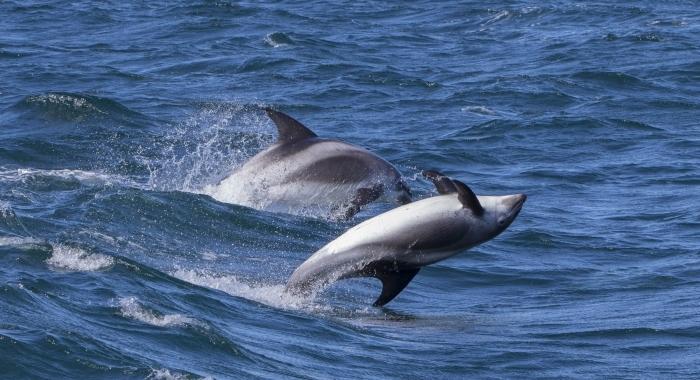 050818 leaping whitebeak dolphins