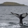 050918 humpback Example with Grimsey