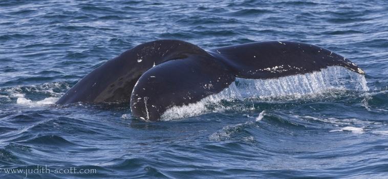More humpbacks seem to be coming!