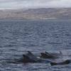 060918 pilot whales