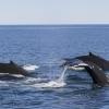 070918 3 humpbacks
