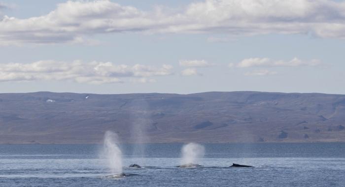 070918 4 humpbacks