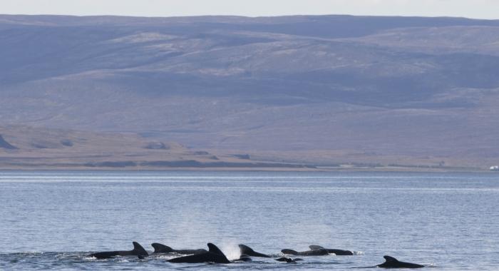 070918 pilot whales