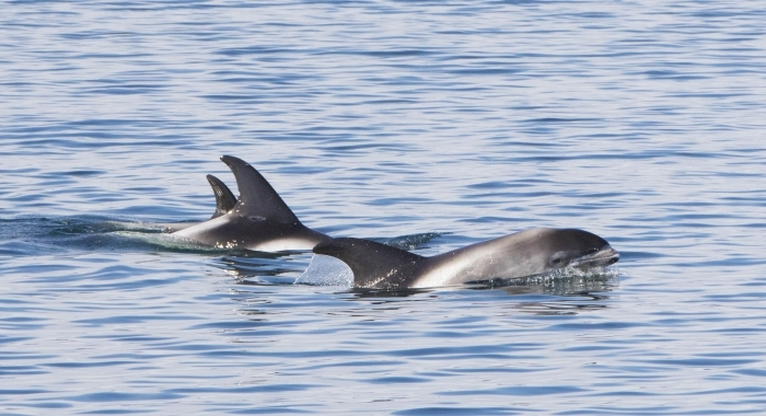 070918 whitebeak dolphin