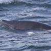 080818 curious MInke whale 2