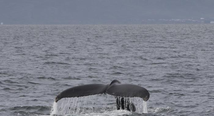 080818 humpback tail 2