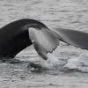 080818 humpback tail