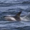 080818 whitebeak dolphin