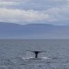 080918 3 humpbacks pano