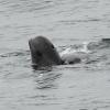 0908 pilot whale spyhop Olafsvik