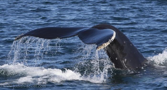 090818 humpback close fluke