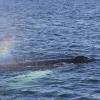 090818 humpback rainblow