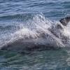 090818 whitebeak dolphin