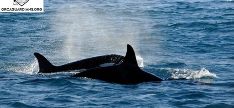 Great killer whale encounters
