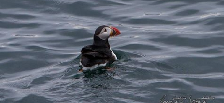 Puffin tour season has started