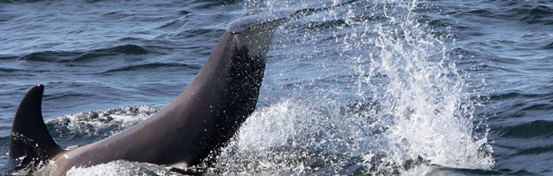 Sperm whales and Orcas
