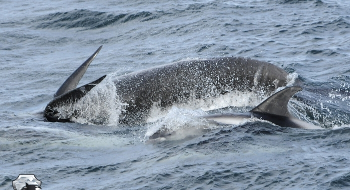 1008 pilot whale and dolphin Olafsvik
