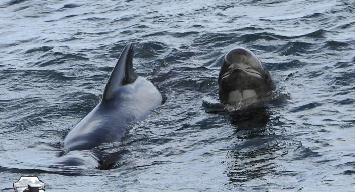 1008 pilot whale face Olafsvik