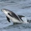 1008 whitebeak dolphin Olafsvik