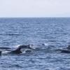 100818 pilot whales Holmavik