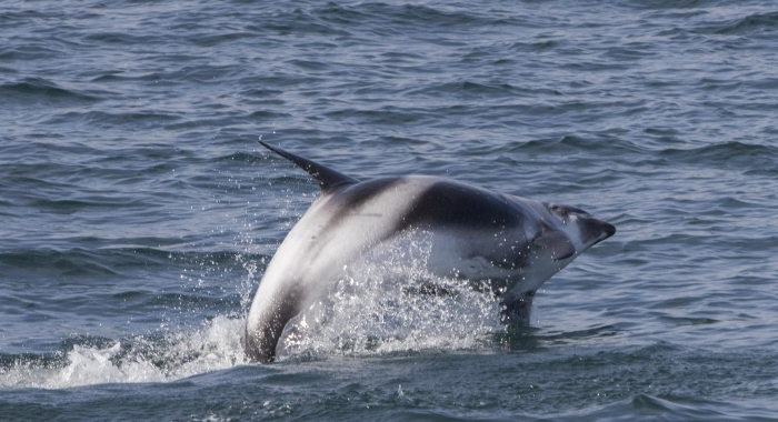 100818 twisting dolphin leap Holmavik