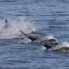 100818 whitebeak dolphins Holmavik